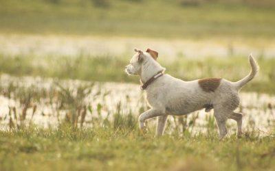 Har du en hanhund, der letter (det samme) ben